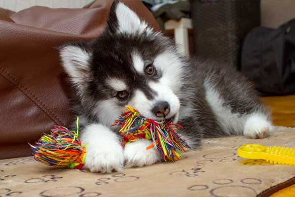 Husky puppy playing with a toy